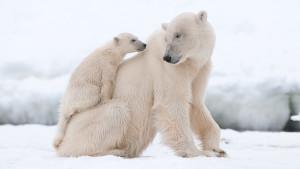polar-bear-cub-on-mom